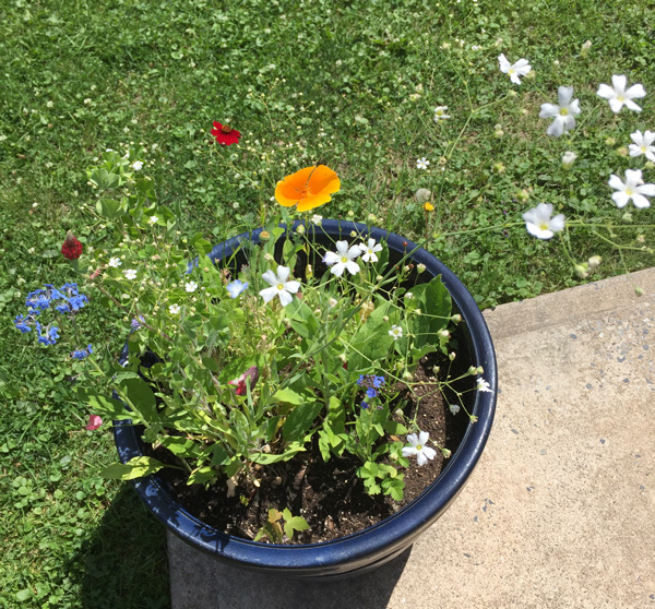 Pot de fleur sauvages à partir de semances